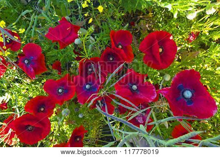 Poppies On Field.