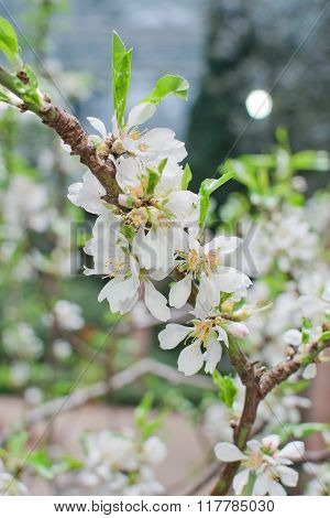 White Almond Flowers Closeup