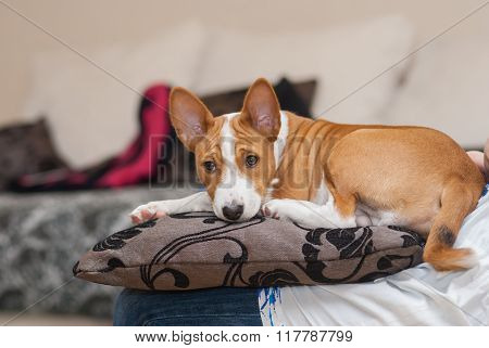 Tired Basenji puppy having rest on a pillow