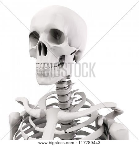 3d human skeleton on white background