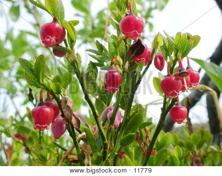 Bilberry-flowers