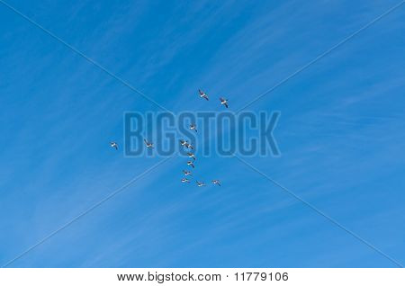 Flock Of Canada Geese In Flight