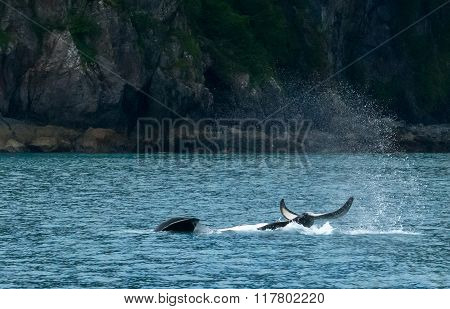 Belly Up Orca Slamming Tail
