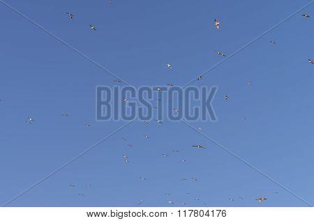 Gulls  In A Blue  Sky.