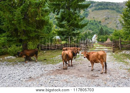 Four Cows In A Mountain Village, Looking At The Camera