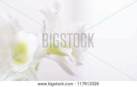 Background - White Flowers Of An Orchid On A White Background
