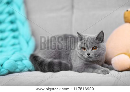 Grey cat lying on sofa with teddy bear indoors