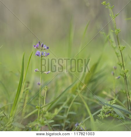 Australian Purple Wildflower Glycine Tabacina
