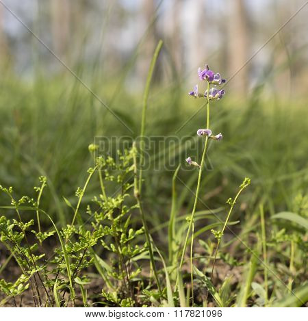Australian Purple Wildflower Glycine In Eucalypt Grassland
