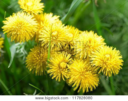 Dandelion flowers in the fresh green grass.