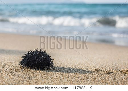 Urchin  at the coast line.The calm sea at the background.