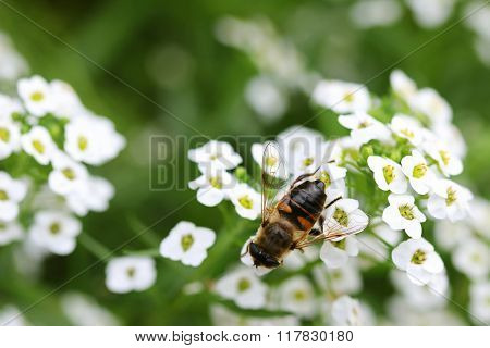 Closeup of bee enjoying the white Lobularia maritima (Alyssum flowers)