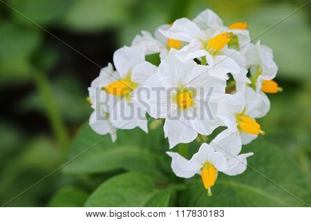 Closeup of Potato white flowers blossoming in the field during summer time