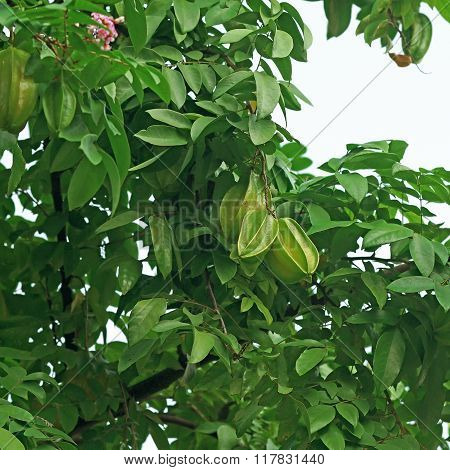 Carambola Or Star Fruit On Tree