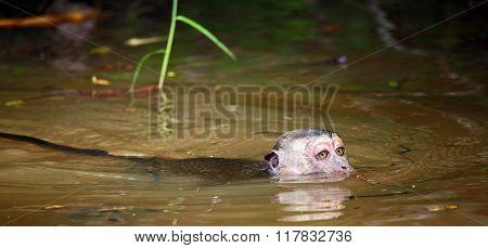 Wet Macaque in muddy water