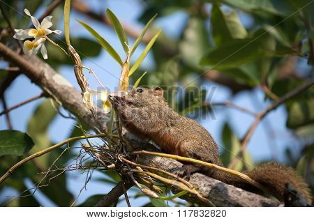Pallas's Squirrel Or Red-bellied Squirrel