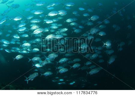 School of Bigeye Trevallies (Jack fish)