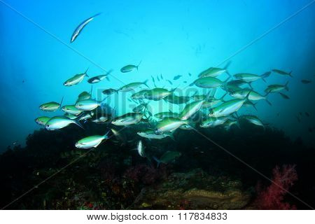 Fusilier fish on coral reef