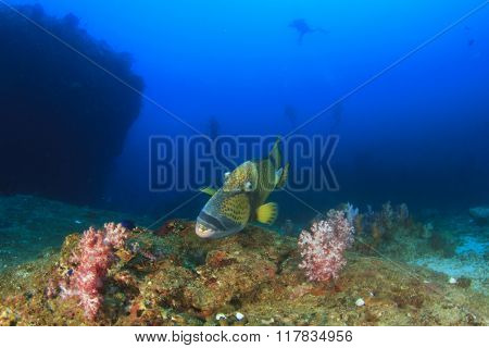Titan Triggerfish with scuba divers in background