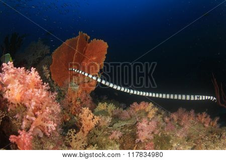 Banded Sea Snake hunting on coral reef