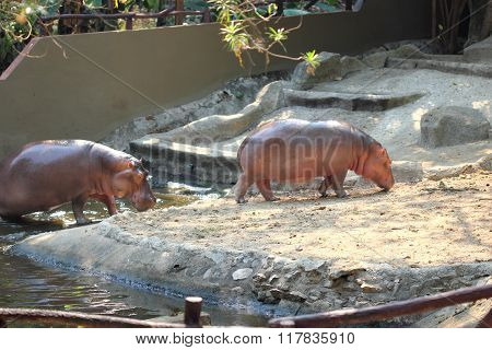 Hippo In Thailand Zoo