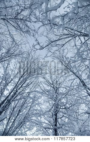 Snow-covered Treetops Against Blue Sky