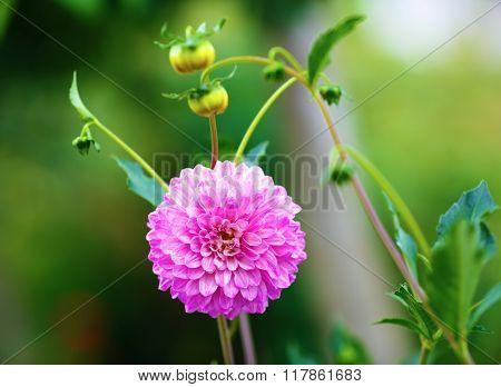 Blooming Chrysanthemum Flower