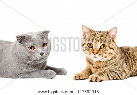 Portrait of cats Scottish Fold and Scottish Straight