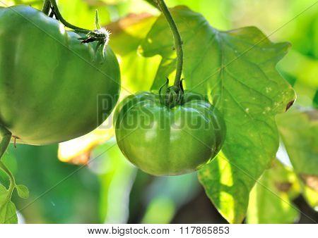 Green Tomatoes Unripe