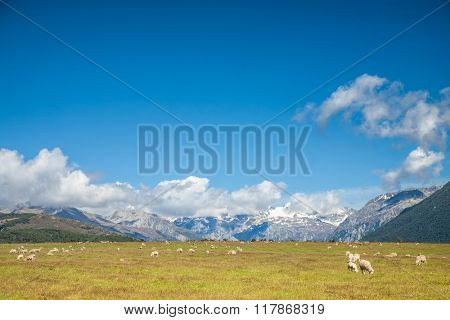 Sheeps grazing at a pasture in New Zealand with snow capped mountains in background