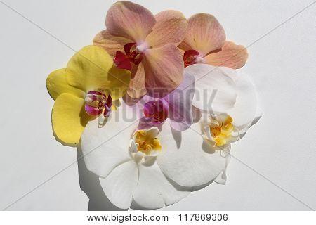 Splendid Exotic Orchids Flower