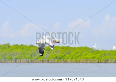 Flying Seagull