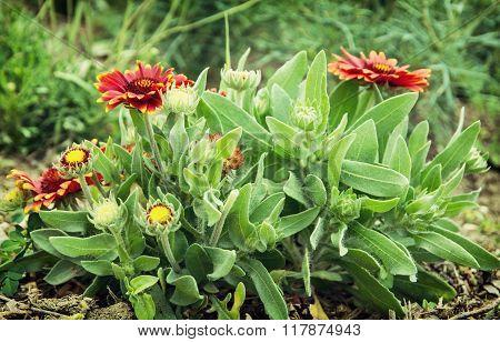 Gerbera Flowers In The Garden, Natural Scene