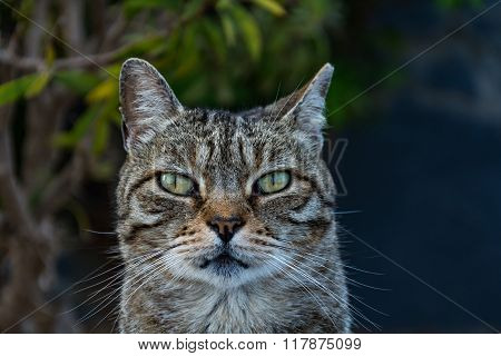 Friendly dun cat portrait