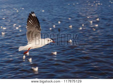 Flying Rown-headed Seagull
