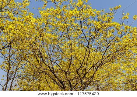 Yellow Trumpet Flower Blooming On Tree