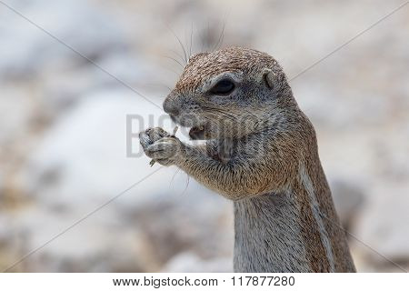 Ground Squirrel At Etosha