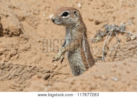 Ground Squirrel At Kruger National Park
