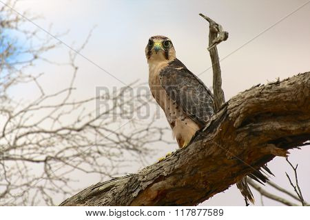 Lanner Falcon At Kgalagadi National Park