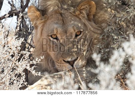 Lion Having Rest At Kgalagadi Park