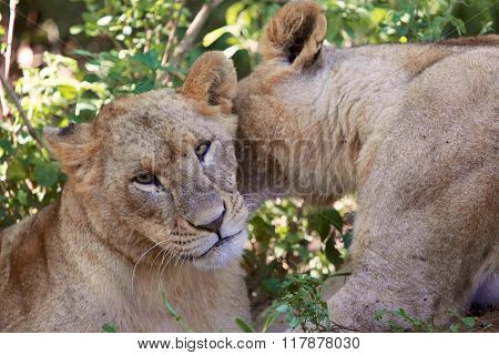 Lioness Kissing Another Lioness