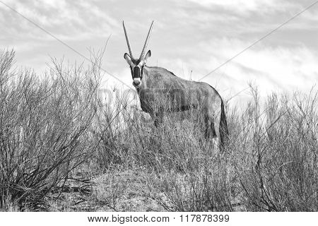 Oryx At Kgalagadi National Park