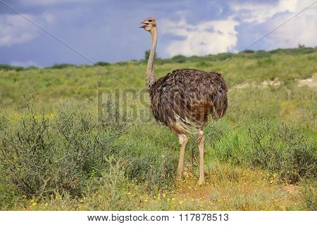 Ostrich At Kgalagadi National Park
