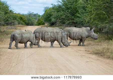 Rhinos Crossing Road At Kruger