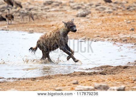 Spotted Hyena At Etosha Namibia