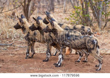 Wild Dog Close-up Botswana