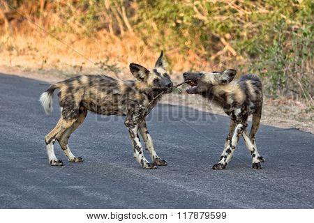 Wild Dog Playing Kruger National Park