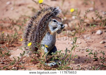 Wonderful Ground Squirrel At Kgalagadi National Park