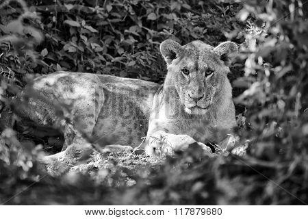 Wonderful Lioness In Black & White