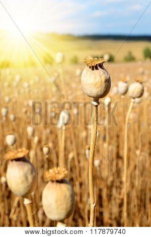 Dry poppy field before harvest.